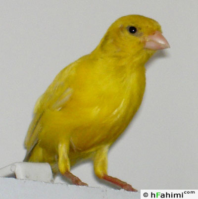 Tala, our canary